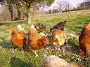 poules gite 64